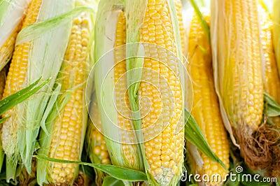 Fresh, organic, home cultivated yellow sweet corn