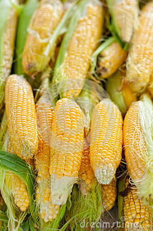 Fresh, organic, yellow sweet corn with leaves