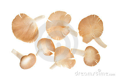 Fresh Oyster Mushrooms Stock Images - Image: 24082124