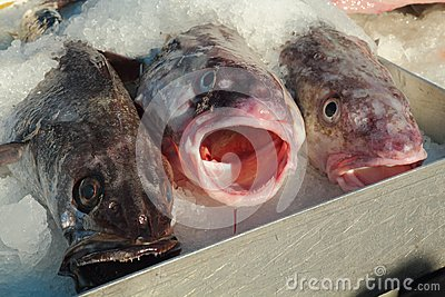 Fresh Pacific Cod for Sale