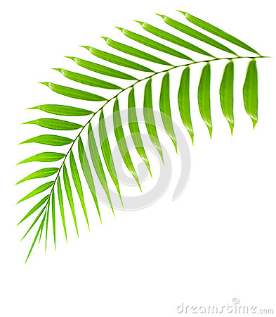 Fresh palm tree branch isolated