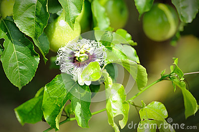 Fresh passion fruit in the garden