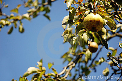 Fresh pear hanging from tree.