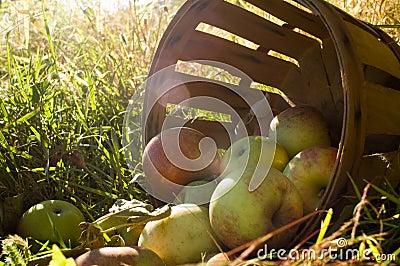 Fresh picked apples 3