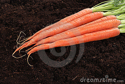 Fresh picked carrots