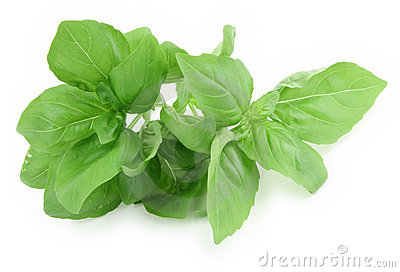 Fresh Picked Sweet Basil
