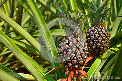 Fresh Pineapple In Farm Stock Images - Image: 25190984