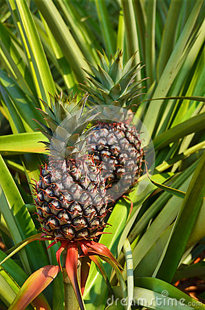 Fresh Pineapple in farm , Tropical fruits