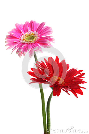 Fresh pink and red gerbera