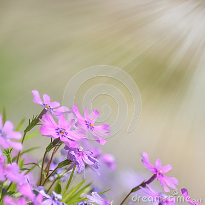 Fresh, pink, soft spring blossoms on nature background.