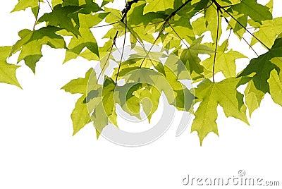 Plane trees  leaves