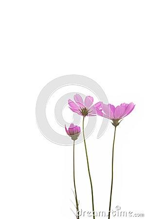 Free Fresh Purple Daisy Flower Royalty Free Stock Images - 14319599