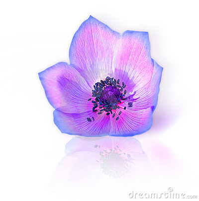Free Fresh Purple Spring Flower Royalty Free Stock Photography - 18987877