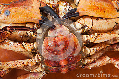 Fresh raw edible brown sea crab face down. Close Up.