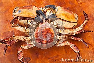 Fresh raw edible brown sea crab face down. Close Up.