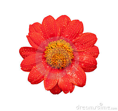 Fresh red flower
