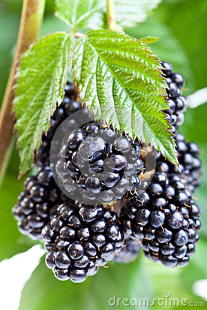 Fresh ripe blackberry on the twig