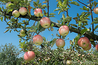 Fresh ripen apples on branch tree