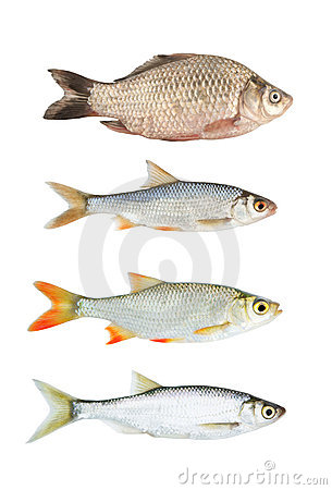Fresh river fish collection isolated