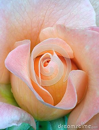 Fresh rose, tenderness