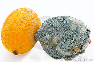Fresh and  rotting lemons touching each other.