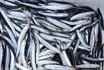Fresh Sardines Royalty Free Stock Photo - Image: 14298285