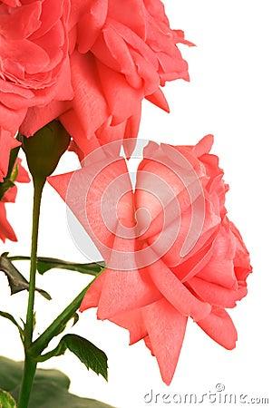 Free Fresh Scarlet Roses Stock Photos - 4941753