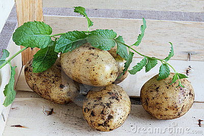 Fresh small new potatoes with mint