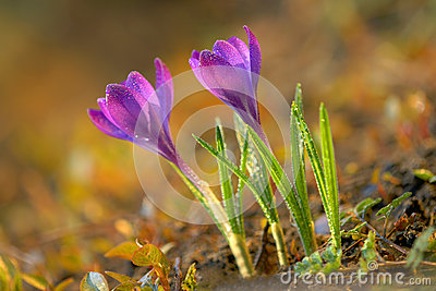 Fresh spring crocus
