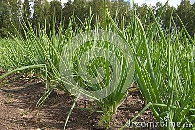 Fresh spring onion in the garden