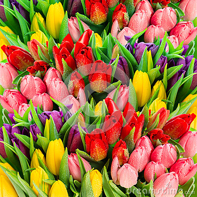 Free Fresh Spring Tulip Flowers With Water Drops. Vibrant Colors Royalty Free Stock Images - 50636669