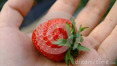 Fresh strawberries in hand