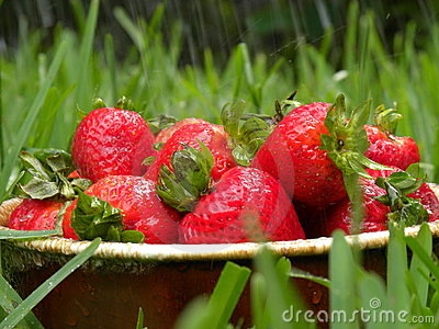 Fresh strawberries in rain