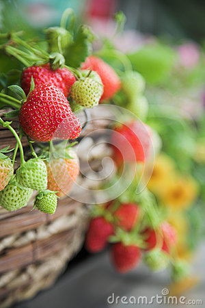 Free Fresh Strawberry Plant Close-up Royalty Free Stock Images - 25382089