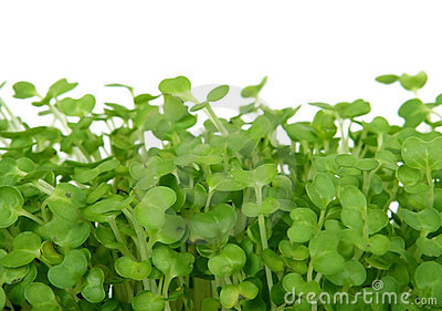 Fresh summer cress, healthy salad garnish food