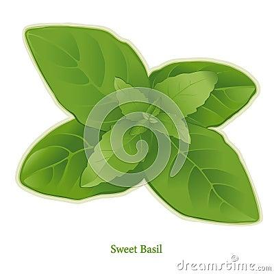 Free Fresh Sweet Basil Herb Royalty Free Stock Photo - 12232755
