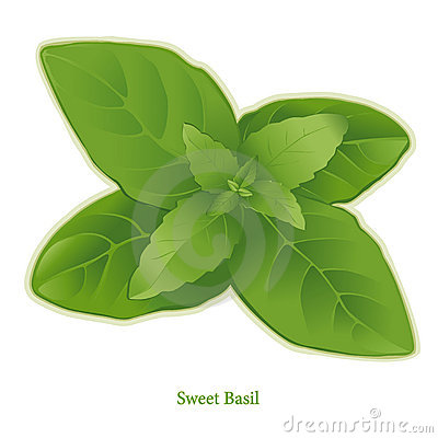 Fresh Sweet Basil Herb