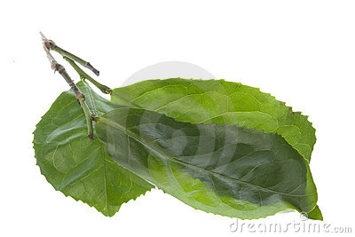 Fresh Tea Leaves Isolated