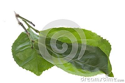 Fresh Tea Leaves Isolated