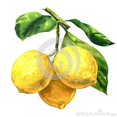 Free Fresh Three Yellow Fruits Lemons With Green Leaves On Branch, Twig Isolated, Hand Drawn Watercolor Illustration On White Royalty Free Stock Photos - 117380968