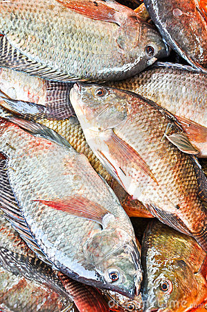 Fresh Tilapia or Oreochromis fish