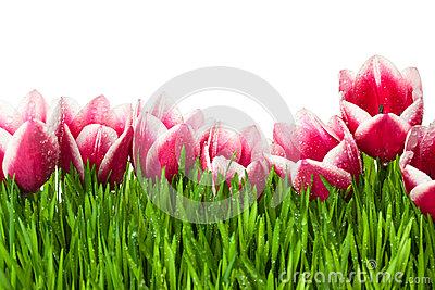 Fresh Tulip and green Grass with drops dew