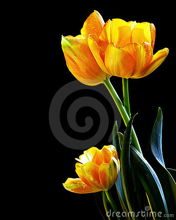 Free Fresh Tulips Stock Images - 9545934