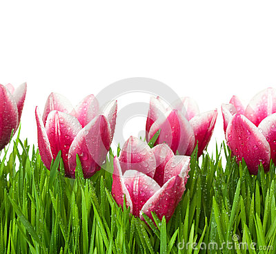 Fresh Tulips and green Grass with drops dew