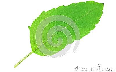 Fresh Tulsi leaf