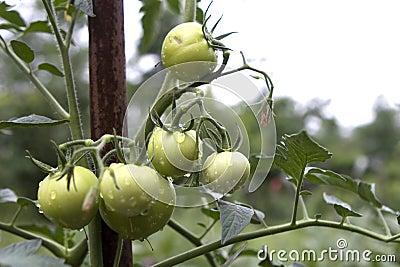 Fresh unripe tomatoes