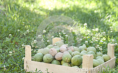 Fresh walnuts in a garden