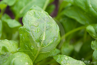 Fresh washed baby spinach