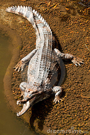 Fresh Water Crocodile