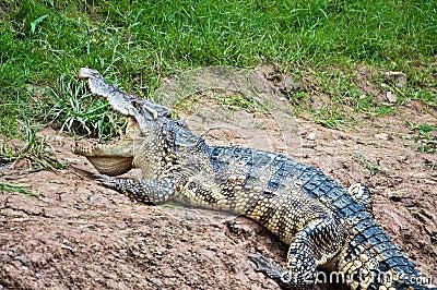 A fresh water crocodile